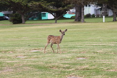 fawn in the cemetery 2 (AmyKay1974) Tags: montereybay deer pacificgrove pacificgrovecemetary