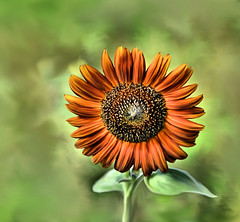 Smudged Sunflower (Lea and Luna) Tags: orange plant flower color green art nature digital painting psp stem flora nikon colorful bokeh digitalart smudge sunflower paintshoppro 60mm nikkor corel blower macrolens smudgepainting d5000