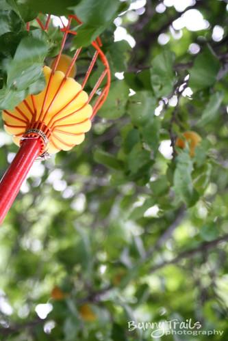 201-apricot harvest2