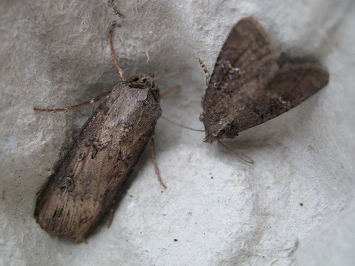 Dark Sword-grass and rustic sp.