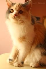 My Cat <3 a7bha (ƧMƋ) Tags: cute cat قطوه