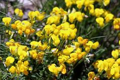 wildflowers 147