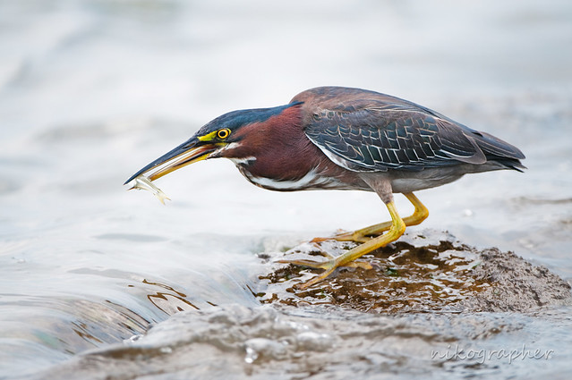 Green Heron w/ fish