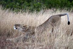 Stretch, Yawn and Roll over (MAC's Wild Pixels) Tags: eos kenya lioness mk masaimara specanimal mywinners dragondaggerphoto dragondaggeraward macswildpixels