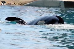 freya v1 240610 (valentin666) Tags: france killer whale orca antibes marineland freya orque