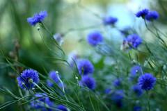"""""""gostava agora de poder julgar que a primavera é gente..."""" (gleicebueno) Tags: flowers flores fleurs canon garden 50mm flor monet jardim franca printemps giverny 30d"""