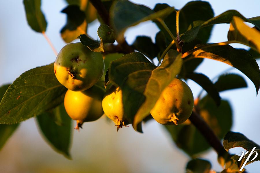 ~ 204/365 Apples ~