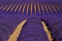 Plateau de Valensole (bautisterias) Tags: flowers summer france fleurs lavender provence fiori 花 midi lavande francia southoffrance vangogh provenza cézanne fontaines provençal プロヴァンス