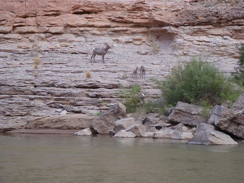 desert bighorns
