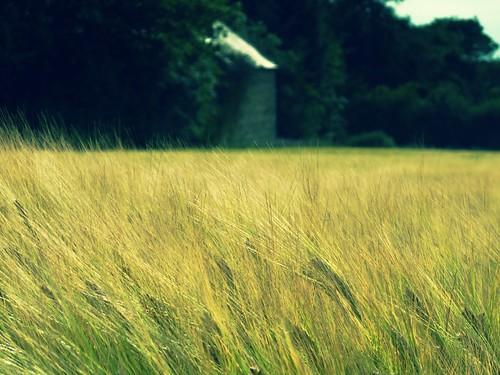 フリー写真素材, 自然・風景, 田畑・農場, 花・植物, イネ科, 小麦・コムギ,