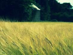 [フリー画像] 自然・風景, 田畑・農場, 花・植物, イネ科, 小麦・コムギ, 201008041900