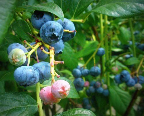 Blueberry fields forever.