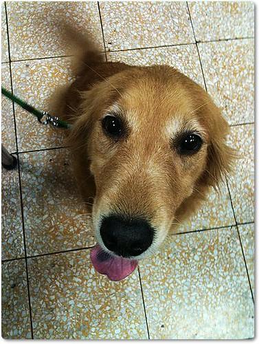 「支援與祝福」桃園救援被遺棄於北市麟光捷運站的黃金獵犬Betty小姐,即將前往紐約,需要您的祝福與支援,隨手幫忙轉PO也是非常重要~謝謝您!20100803