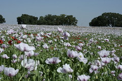 207.JPG (FAJM) Tags: espaa spain poppy poppies cuenca papaver amapolas amapola laroda casasdebenitez campodeamapolas