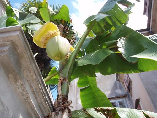 Banana trees in Pula