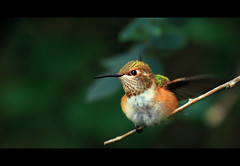 Hummingbird at Rosario Beach V (sparth) Tags: green bird beach june closeup standing branch hummingbird deception pass 300mm v tiny rosario deceptionpass 2010 300mm28l rosariobeach