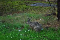 Rabbit (Zdenko Zivkovic) Tags: rabbit jumping sweden ears värmdö skogshare ramsdalen bugsbuunny