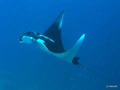 Manta Ray, Thailand (_takau99) Tags: ocean trip travel cruise bon sea vacation holiday fish uw nature water topv111 pen thailand island islands asia ray underwater wildlife north indianocean may scuba diving olympus thai tropical scubadiving phuket manta similan khaolak 2010 andaman andamansea similanislands westridge kohbon takau99 penlite bonisland edive epl1 manataray