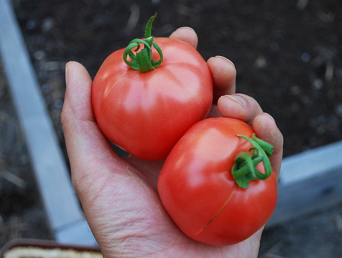Ripe Clear Pink Early Tomatoes