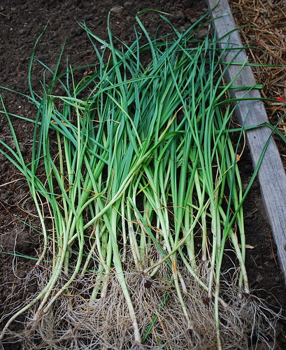 Planting Winter Leeks 2