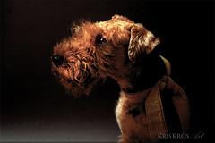 alone in the dark (Kris Kros) Tags: portrait dog photoshop dark alone terrier kris welsh doggie kkg guus the in kros kriskros cieleke cs5 kkgallery
