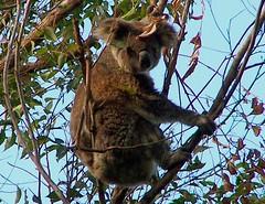 Phascolarctos cinereus (YAZMDG (15,000 images)) Tags: australis animalia mammalia koalas chordata diprotodontia australianfauna phascolarctoscinereus phascolarctidae northernriversspecies