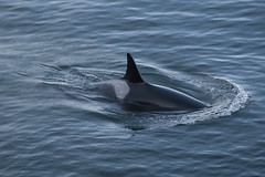 J2_0783 (Miles Ritter) Tags: whale whales gulfislands orca j2 orcas killerwhales eastpoint saturna jpod southernresidents saturnaisland