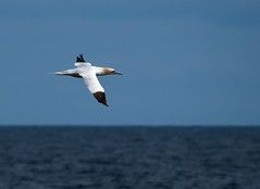 Storm bird. (Rasmus_hald) Tags: fishing northsea gannet sule zd 50200mmswd stormfugl morusbassanuse3 rasmushaldolympus