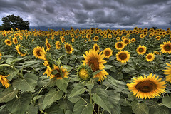 (TheJbot) Tags: storm japan clouds sunflowers hdr yamanashi sigma1020mm akeno