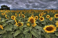 (TheJbot) Tags: storm japan clouds sunflowers hdr yamanashi sigma1020mm akeno