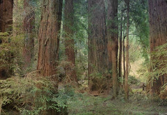 Muir Woods (h_roach) Tags: california statepark trees forest explore muirwoods redwoods giantsequoias darklandscape bej