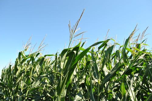 Corn sway