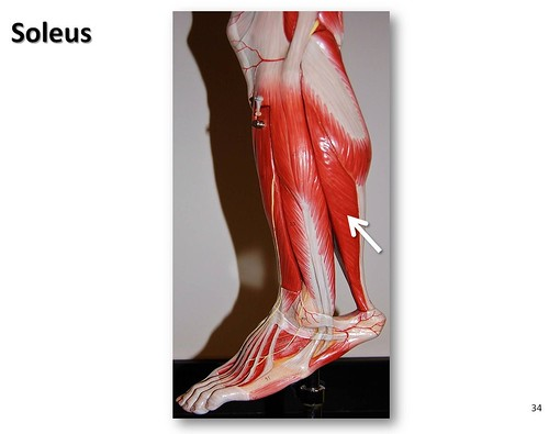 Soleus - Muscles of the Lower Extremity Anatomy Visual Atlas, page 34