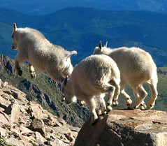 Grabbing Air (Carl Neufelder) Tags: wild nature kids jumping colorado wildlife goats leaping mtevans babygoats rockymountaingoats