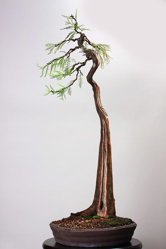 Bunjin Pond Cypress Bonsai