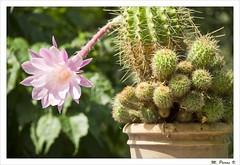 Flor i cactus - Flower and cactus (Miquel Pieras) Tags: cactus flower lafotodelasemana flor miquelpieras
