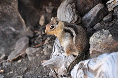 Golden-mantled ground squirrel (ali.schmidt) Tags: groundsquirrel goldenmantledgroundsquirrel craterlakenationalparknikond90