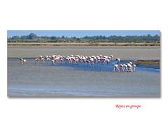 repas en groupe (c.ledur) Tags: mer heron nature eau ciel marais oiseaux végétation flamant