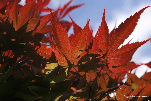 Sunny Red Maple