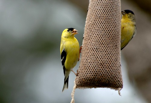 american goldfinch joe oliver