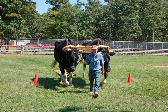 1black-oxen-through-first-cone.jpg