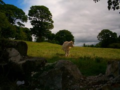 Rock of Cashel (Paja.ja) Tags: ireland sky cloud grass rock cow cattle country cashel krava irsko venkov dobytek