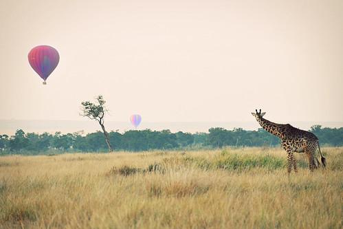 GiraffeandHotAirBalloons