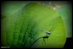 Cover Your Lips, It's a Dragonfly! (mandajomiles) Tags: blue green oklahoma insect dragonfly lilypad pone supershot pondwalk