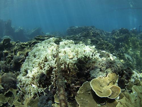 穿越線上嚴重白化的千孔珊瑚(許嘉閔 攝)