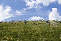 Champs d'Iris des Pyrnes (seven.bowix) Tags: iris montagne champs chenille herbe pyrnes iridaceae ossau pyrnesatlantiques ayous sigma2470mmf28 pentaxk10 rgionaquitaine valledossau fleurviolette pyrnesfranaises irisdespyrnes irislatifolia irisdangleterre fleuriris irisdesmontagnes irisviolette lacxdayous