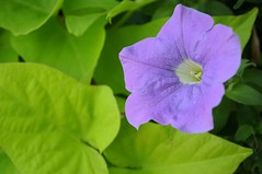 Purple flower (All-seeing Cuttlefish) Tags: ontario flower green leaves purple vivitar simcoecounty 1855mmf3556gvr macrofocusingteleconverter
