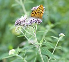 L'insostenibile leggerezza dell'essere (rebelbutterfly) Tags: flowers italy macro nature butterfly nikon italia natura mc fiori tamron 90 marche farfalla macerata frontale d90 apiro rebelbutterfly