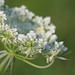 HBW with Queen Anne's lace (Wild Carrot) !