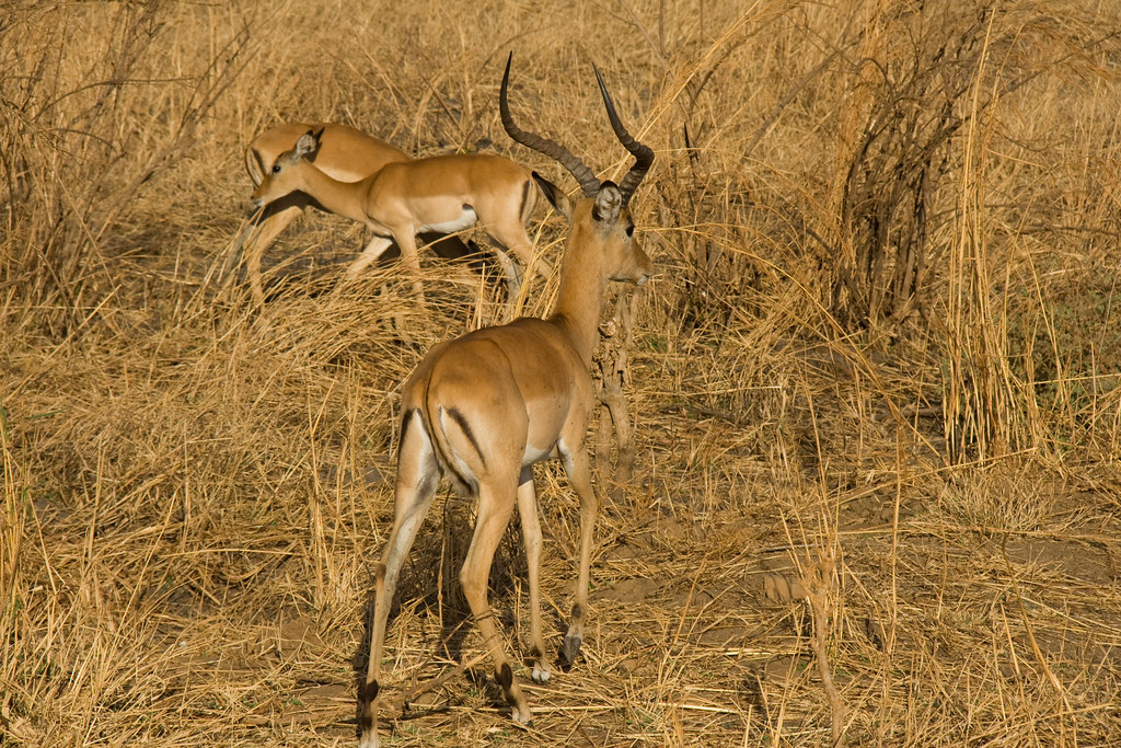 Impalas - Mikumi National Park, Tanzania